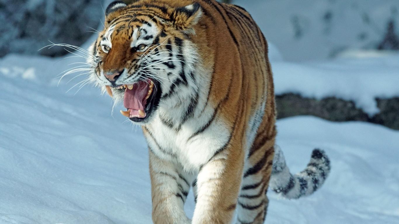тигр, зверь, животные