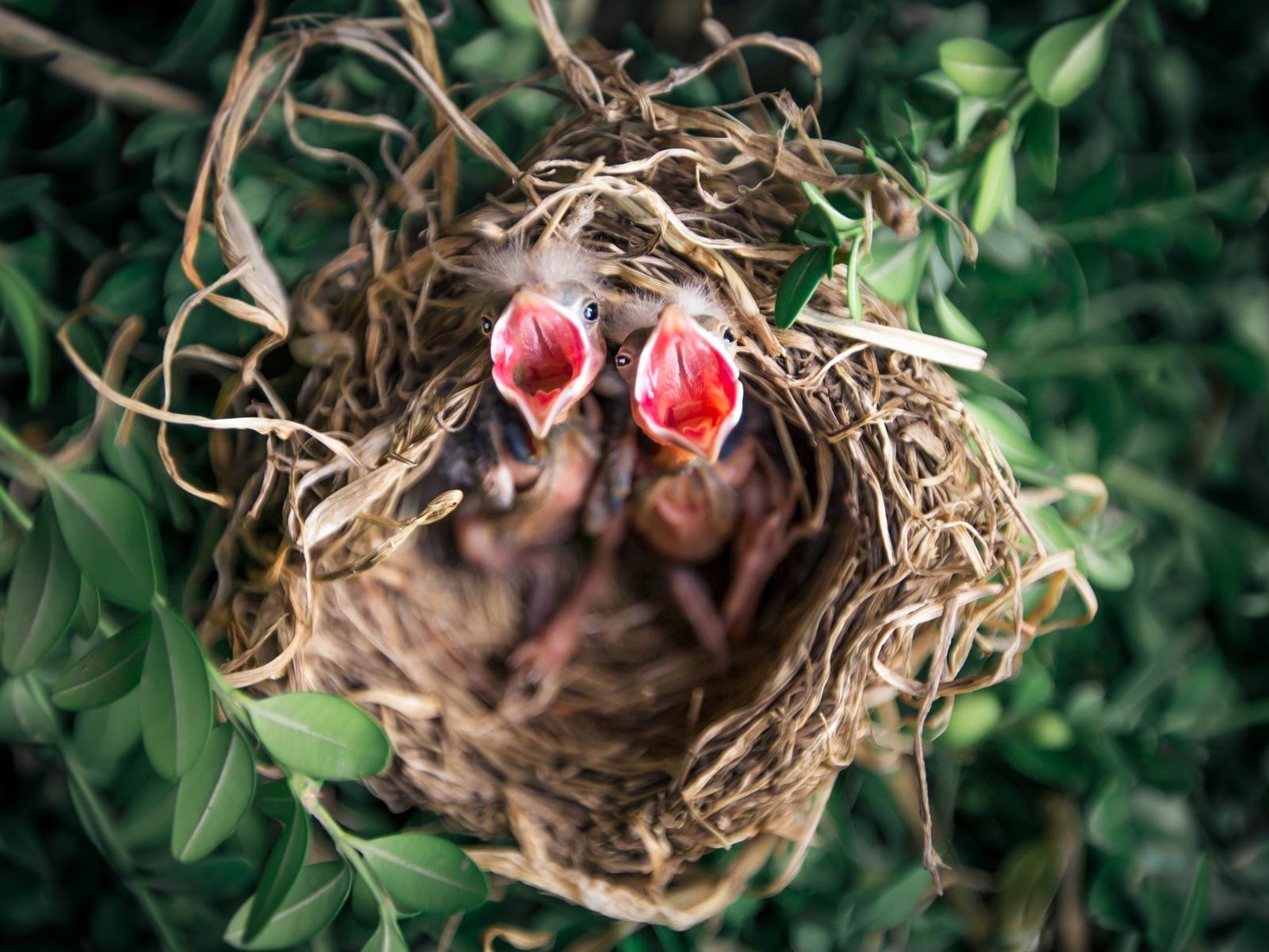 птичка, голодная, гнездо