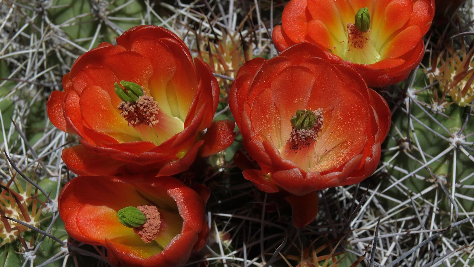 кактусы, крупным планом, красный, цветы, иголки, кактус