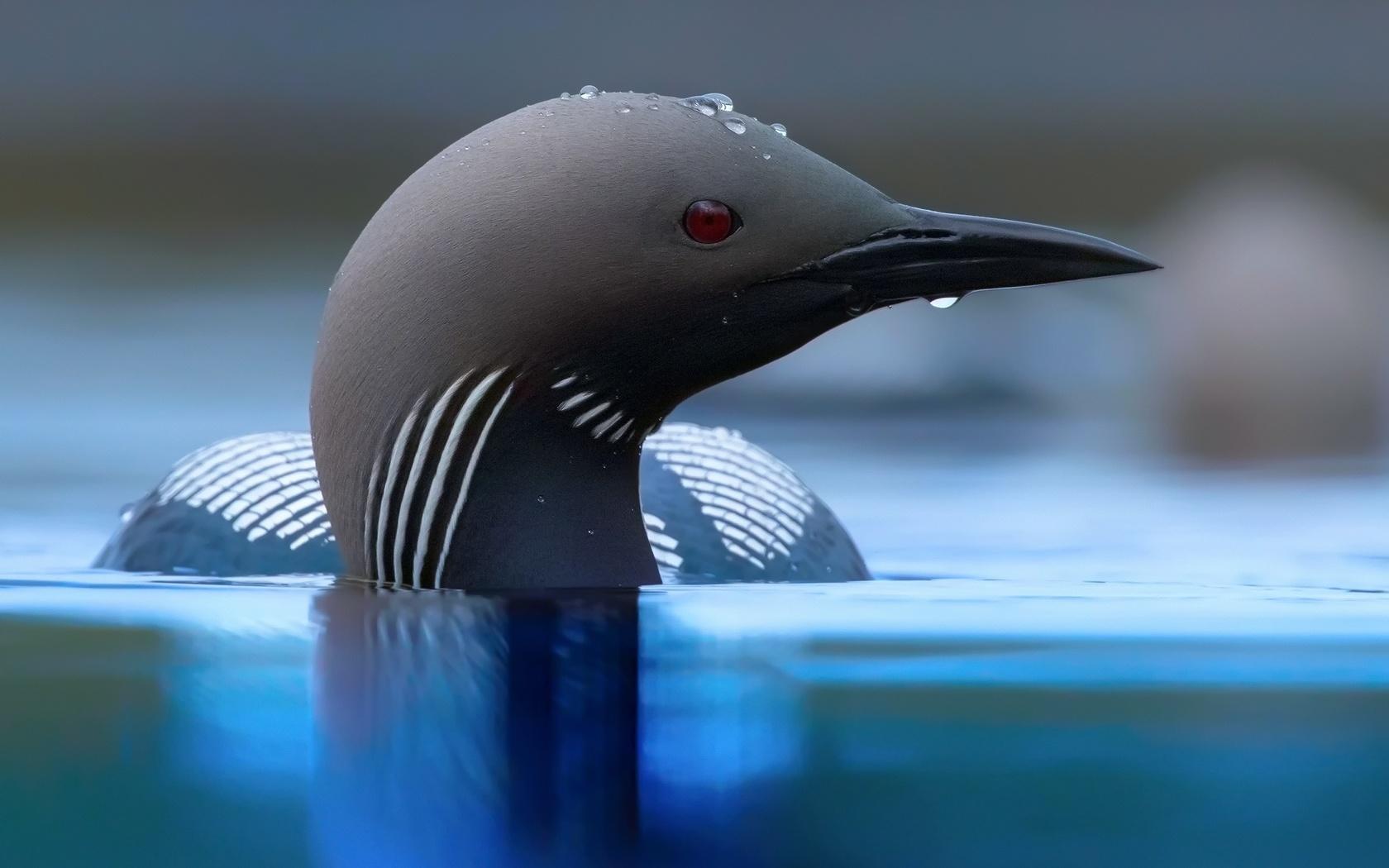 Черная, птица, голова, клюв, вода, капли