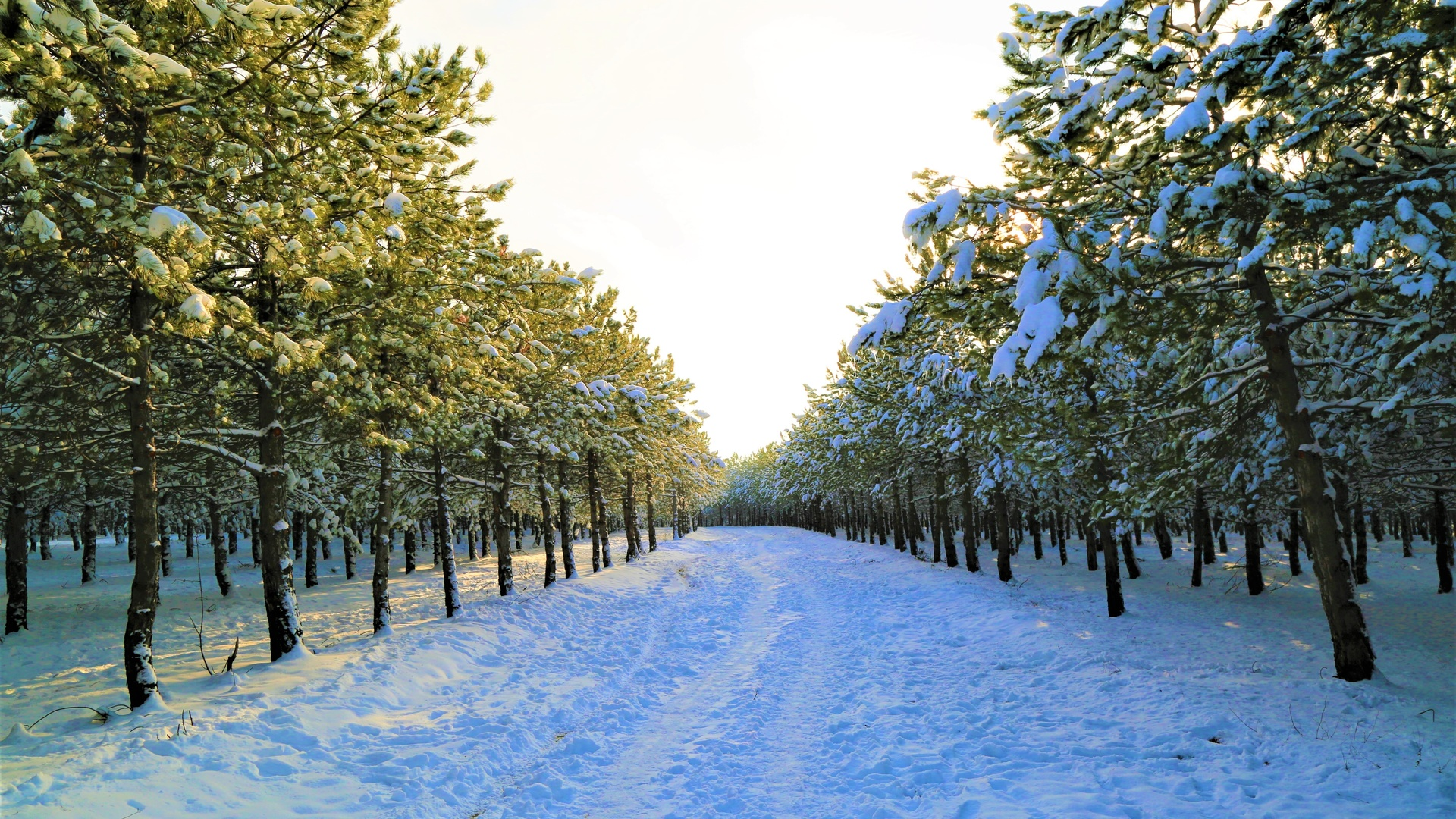 аллея, деревья, снег, зима