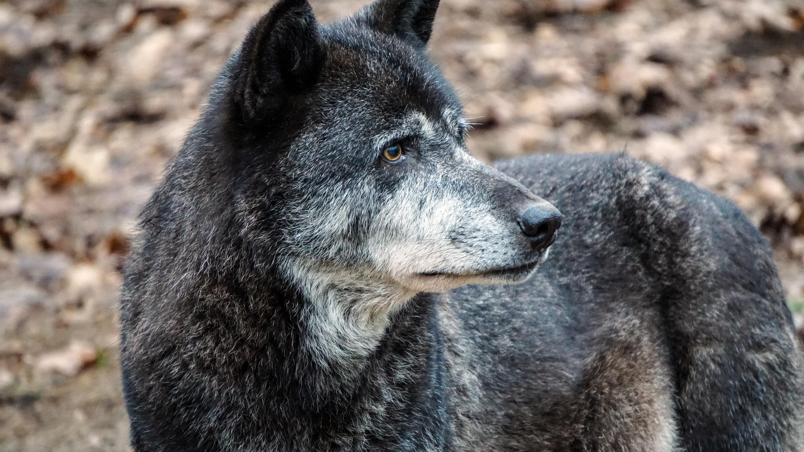 Черный, волк