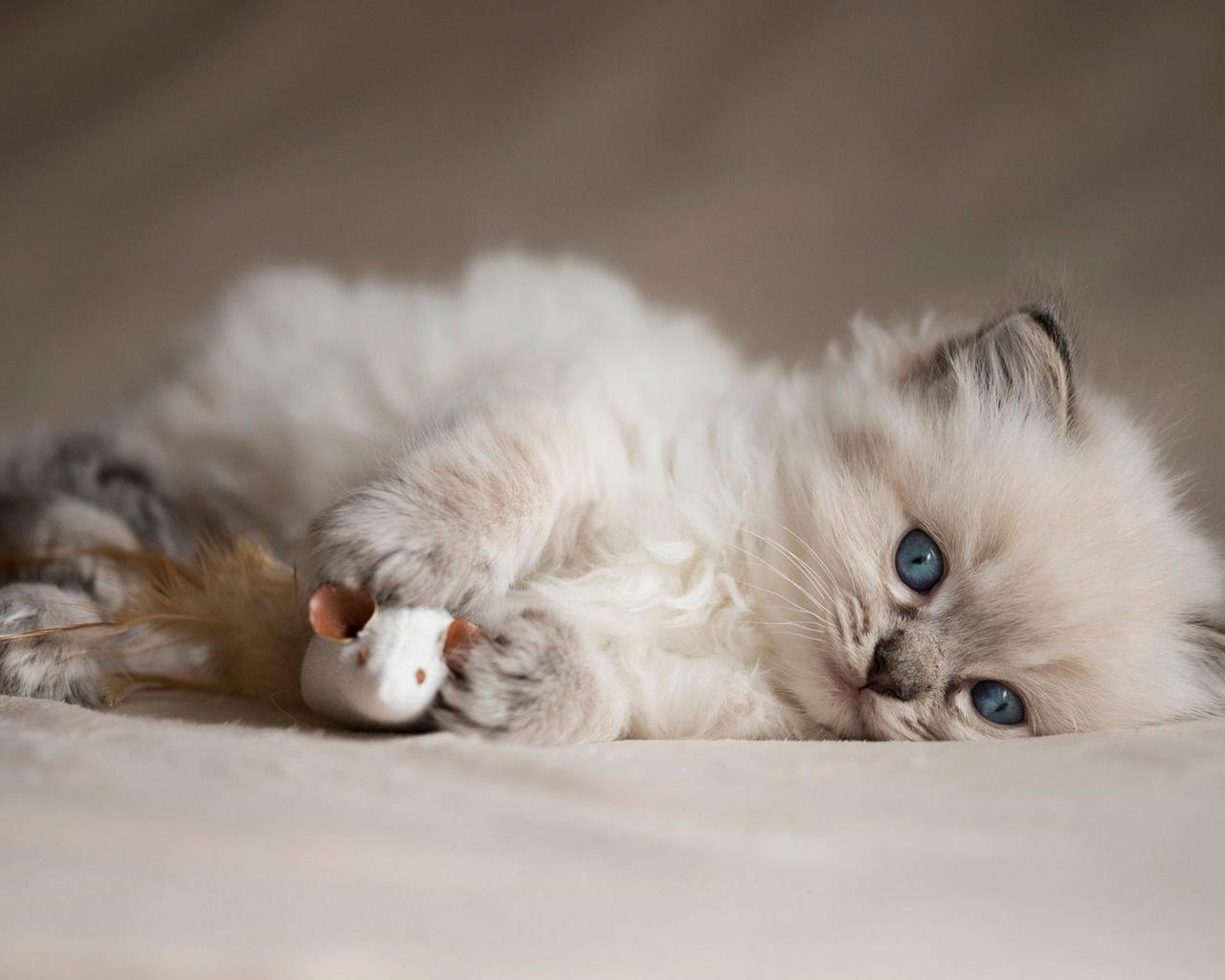 животное, котёнок, детёныш, взгляд, рэгдолл, игрушка, мышь, мышка