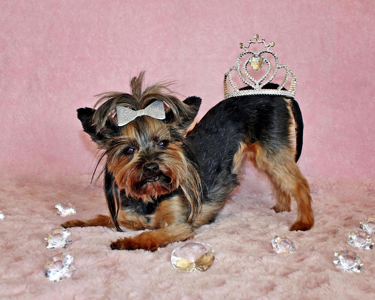 корона, украшение, собака, терьер