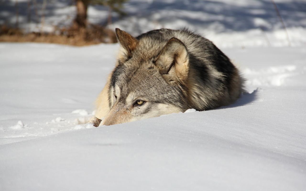 животное, хищник, волк, взгляд, зима, снег