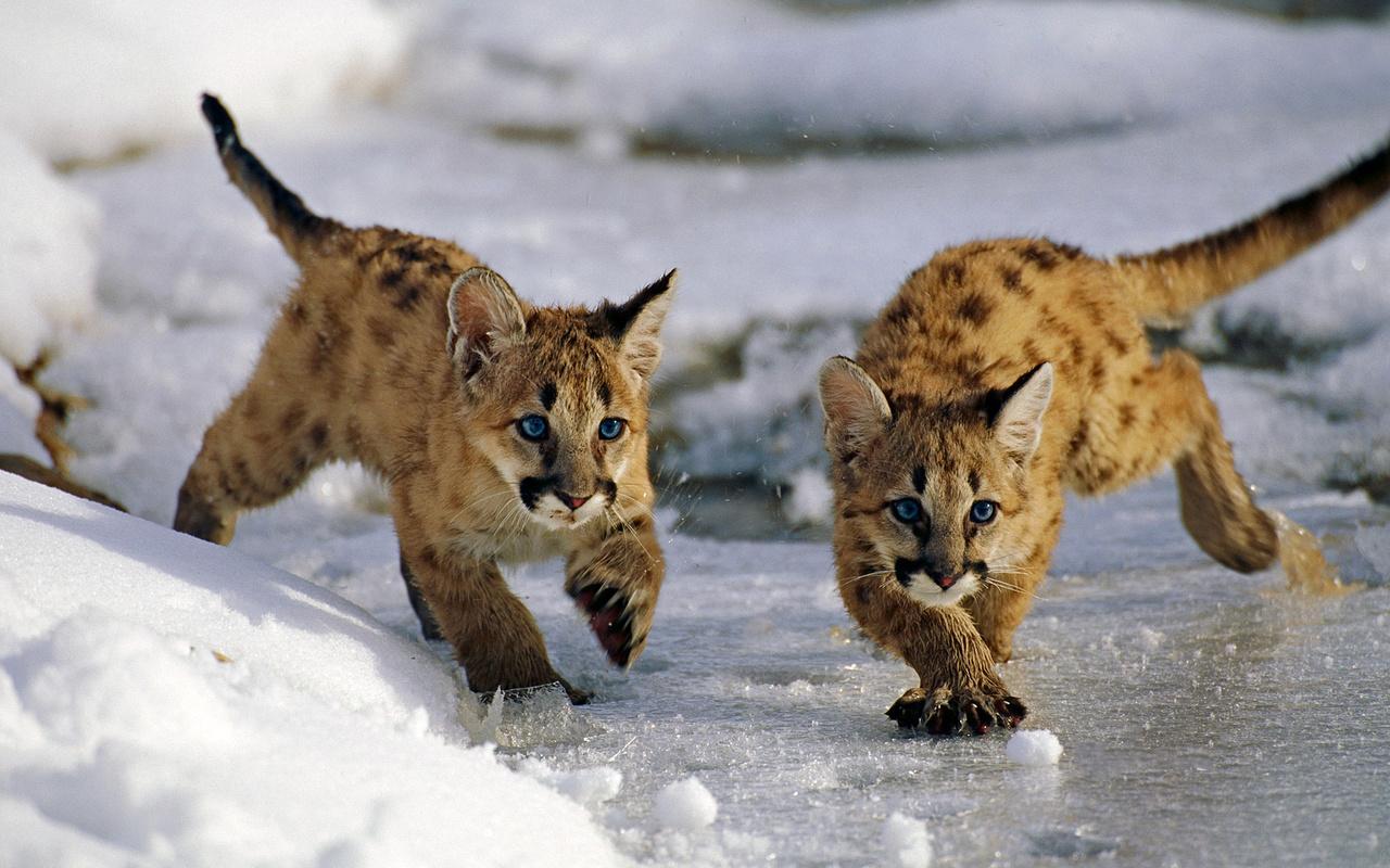 лед, зима, снег, кошки, юта, сша, uinta national forest, горные львята