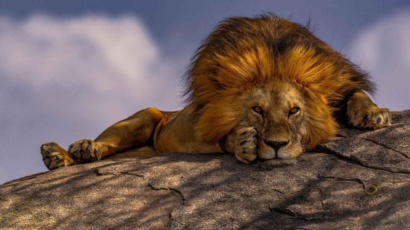 животное, хищник, лев, взгляд, поза, камень