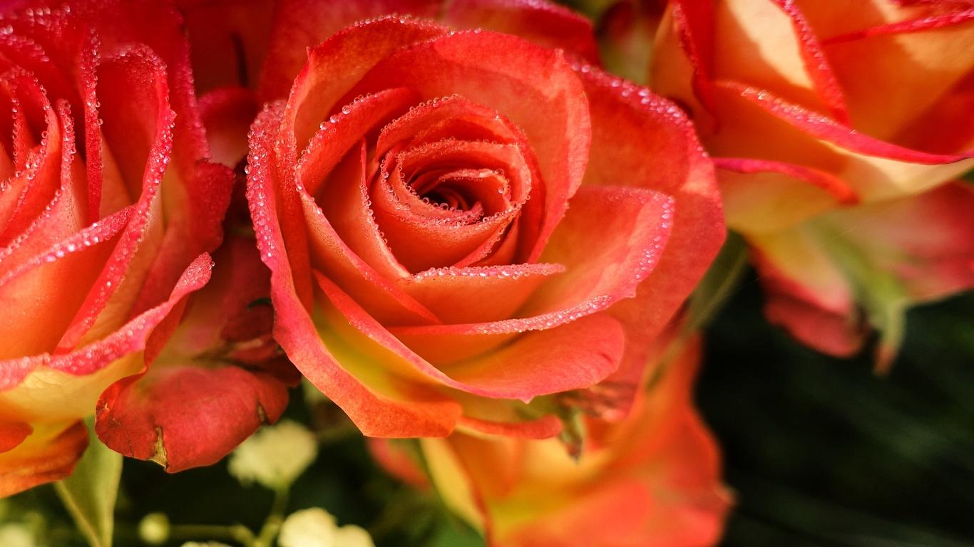 розы, розовый, лепестки, цветы, капли