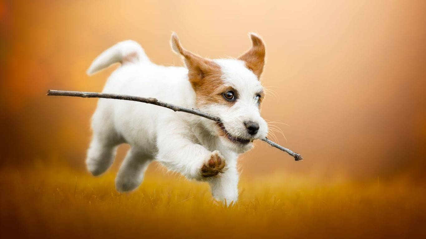 животное, собака, щенок, детёныш, бег, ветка, джек-рассел, терьер, трава