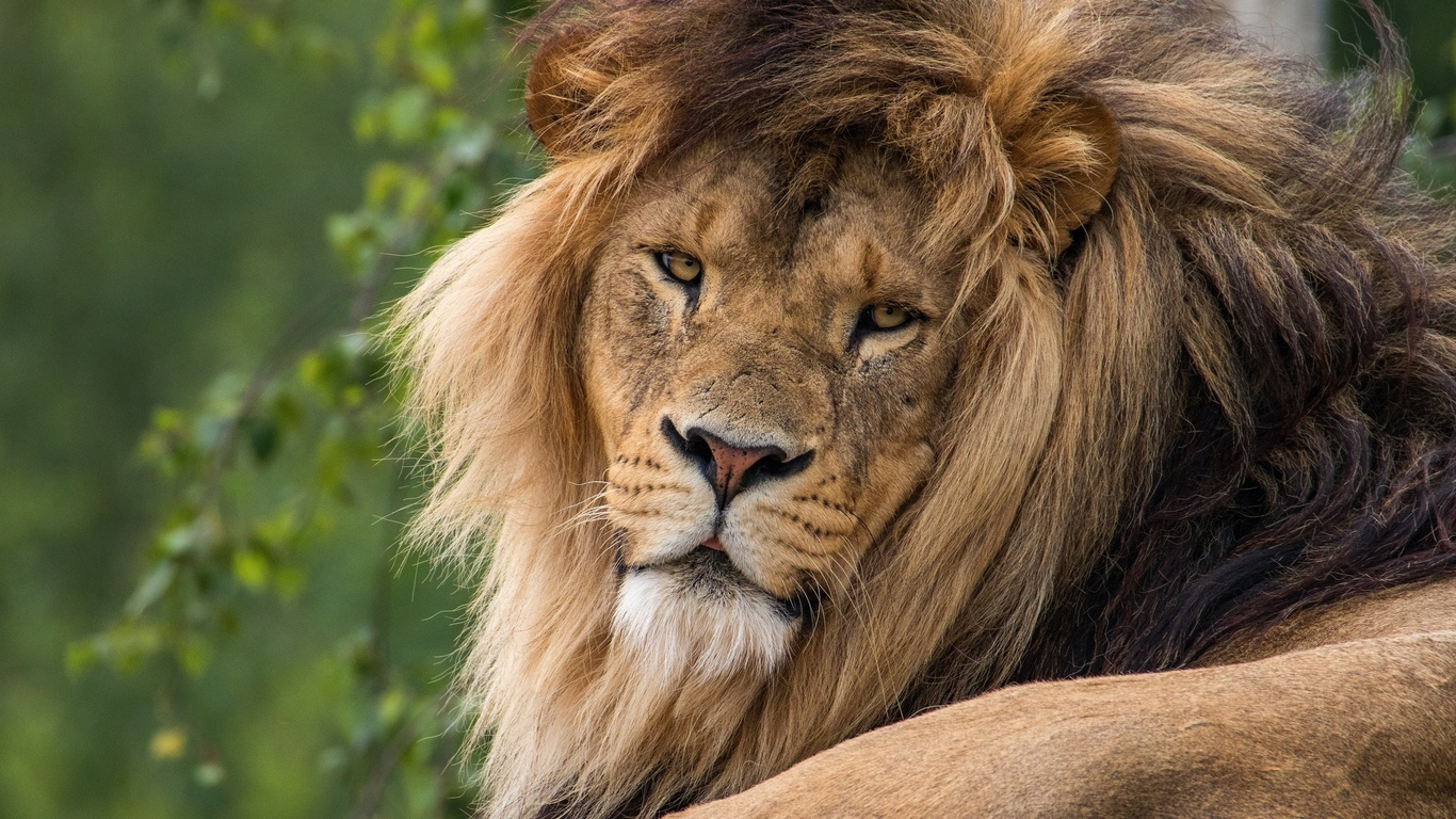 лев, отдых, смотрит, грива