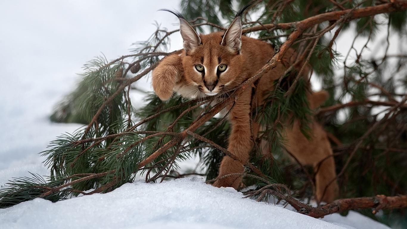 природа, зима, снег, ветки, сосна, животное, хищник, детёныш, рысь, каракал, взгляд
