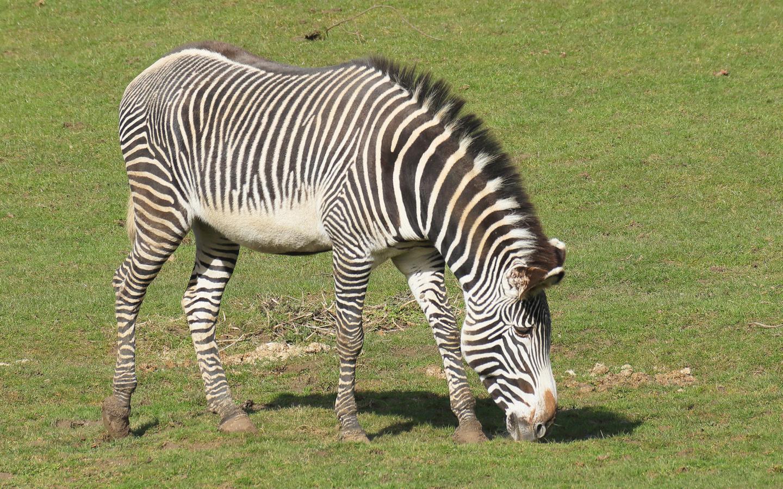 животные, зебра, поле,трава,животное,окрас,полосатое,,грива,хвост