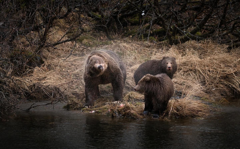 животные, хищники, медведи, медведица, медвежата, детёныши, три медведя, природа, река, вода, трава, осень, деревья, бурые