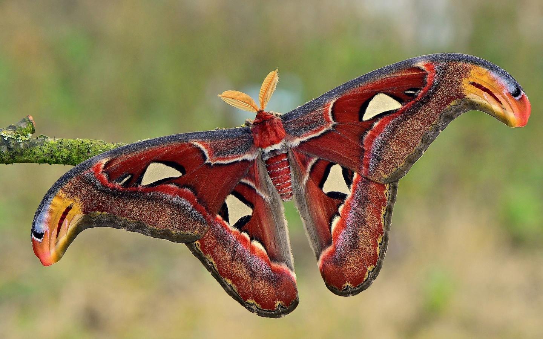 бабочка, крылья, усики, макро