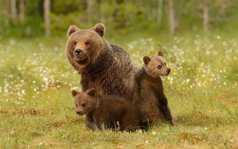 животные, хищники, медведи, медведица, медвежата, детёныши, три медведя, природа, лес