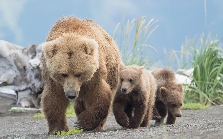 животные, хищники, медведи, медведица, медвежата, детёныши, гризли, три медведя