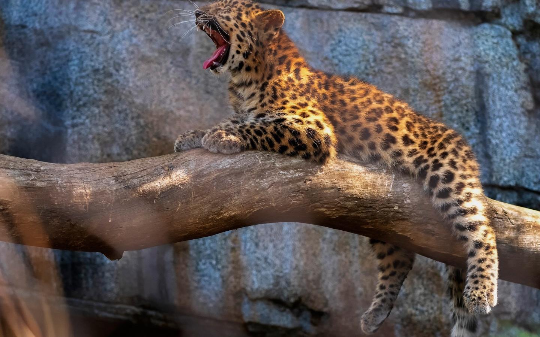 животное, хищник, леопард, детёныш, поза, бревно