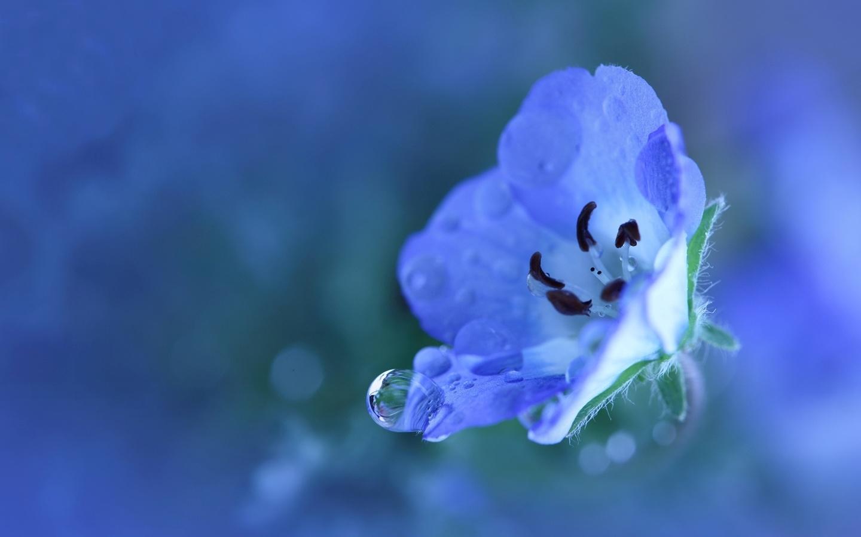 макро, цветок, капля, вода, немофила, тычинки, боке