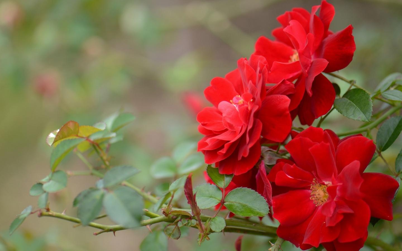 природа, ветка, листья, цветы, розы