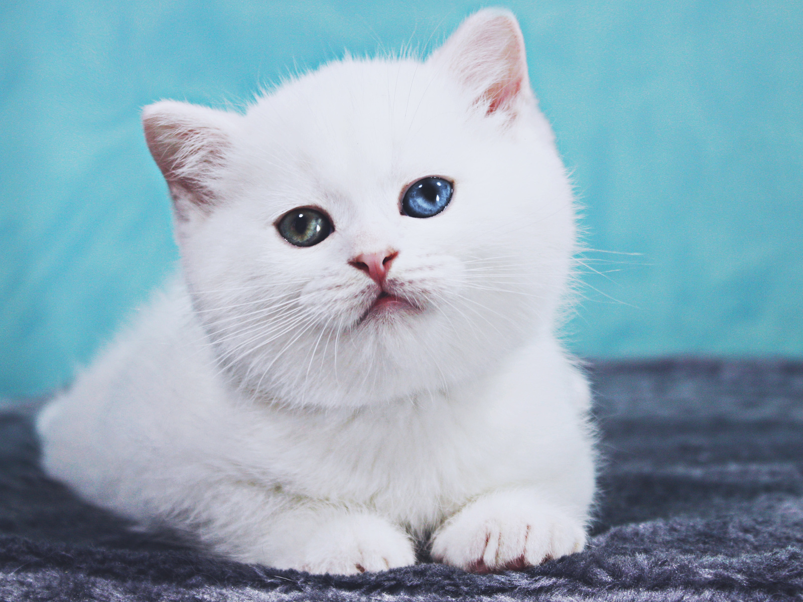 white, british shorthair, cat