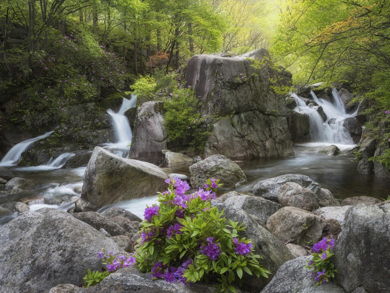 лес, пейзаж, цветы, природа, ручей, камни, водопад, корея, заповедник, рододендрон, азалия, jae youn ryu