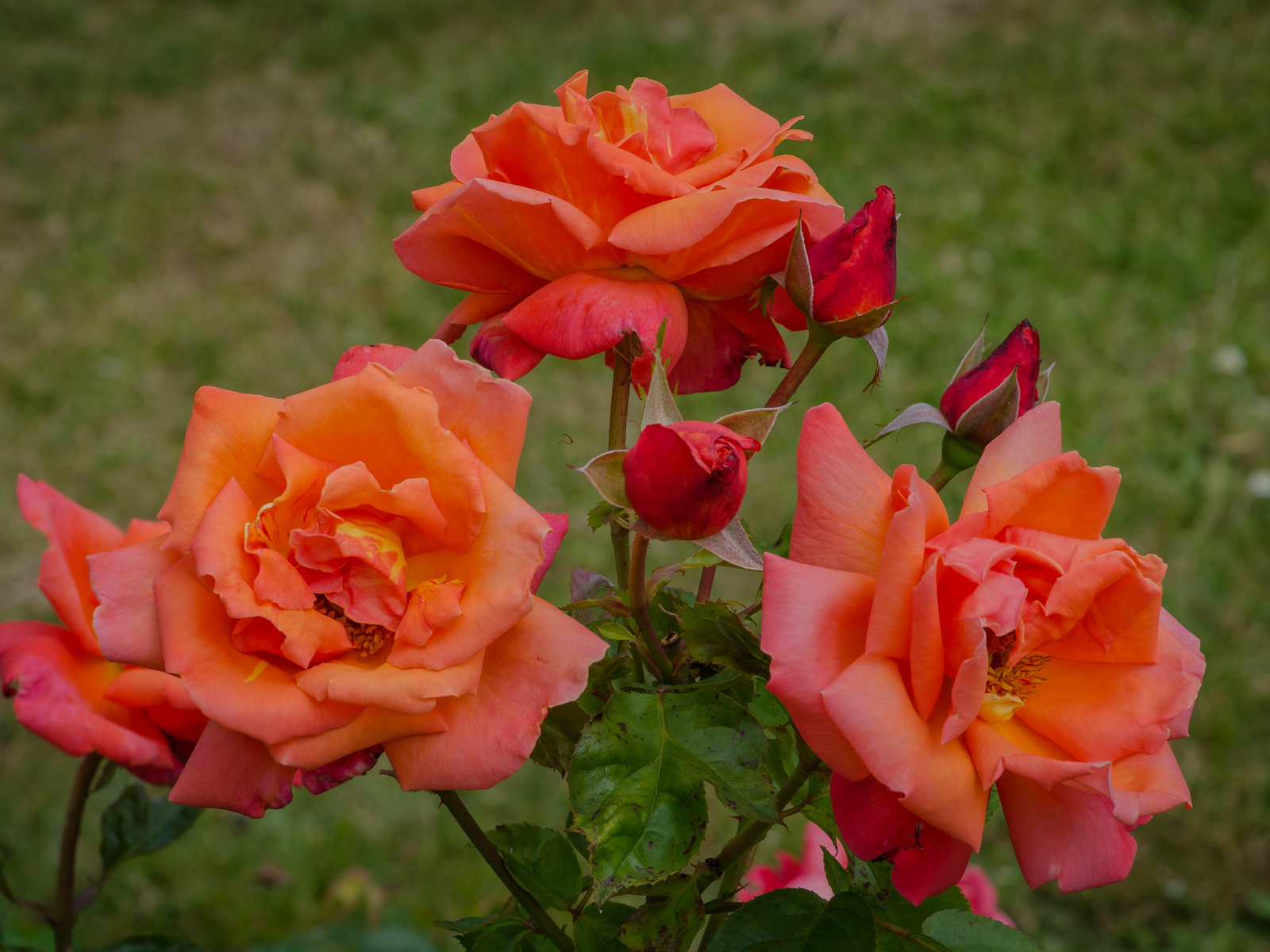 зелень, листья, крупный план, куст, розы, бутоны, боке