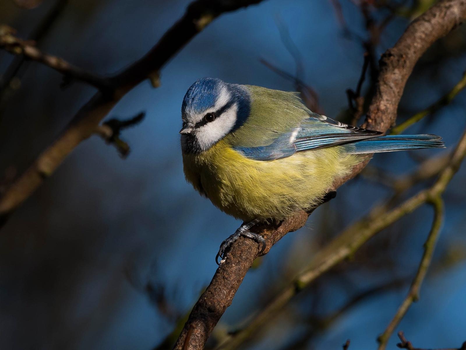 синица, ветка, птица