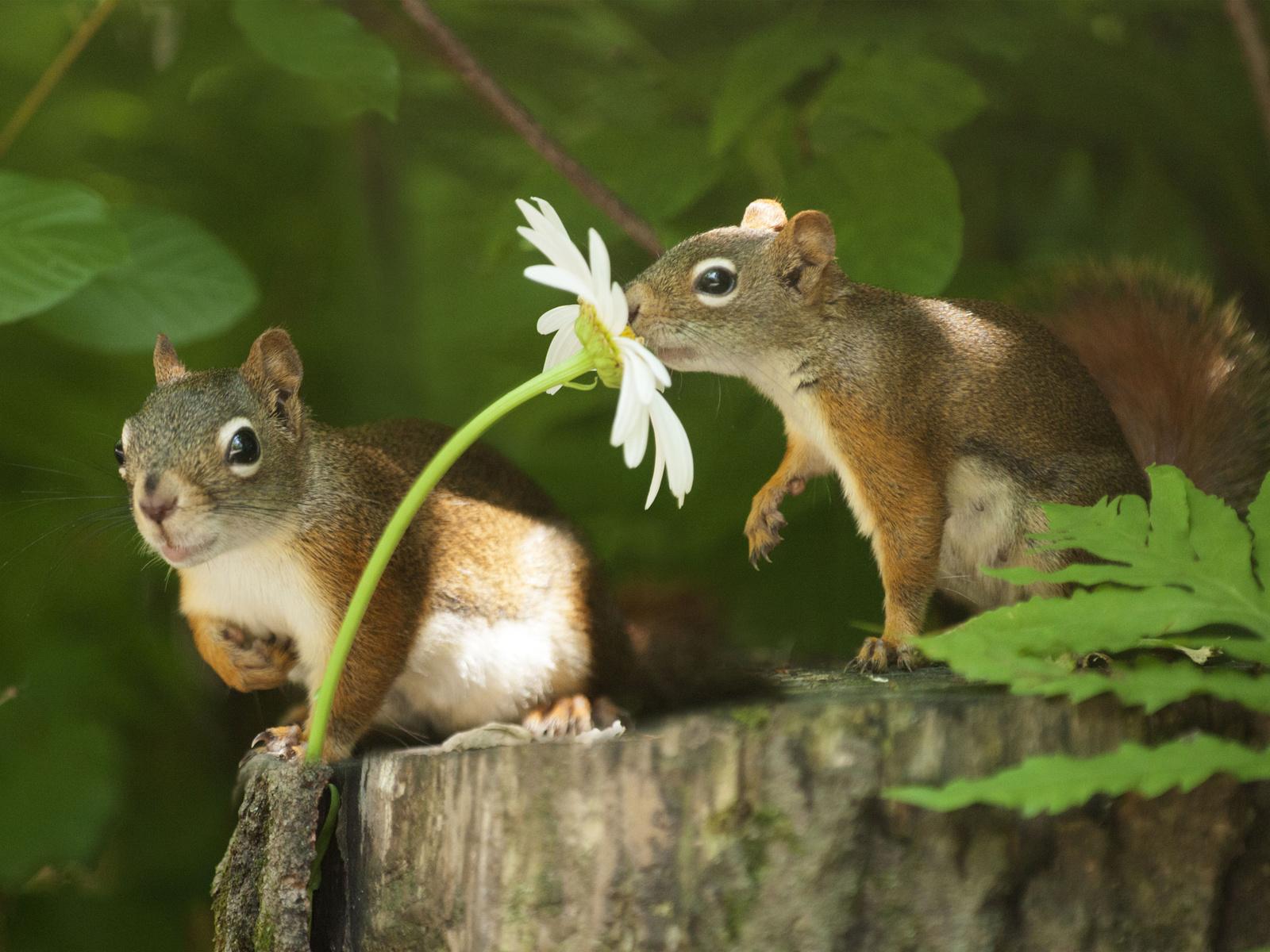 животные, грызуны, белки, парочка, природа, пень, листья, цветок, ромашка