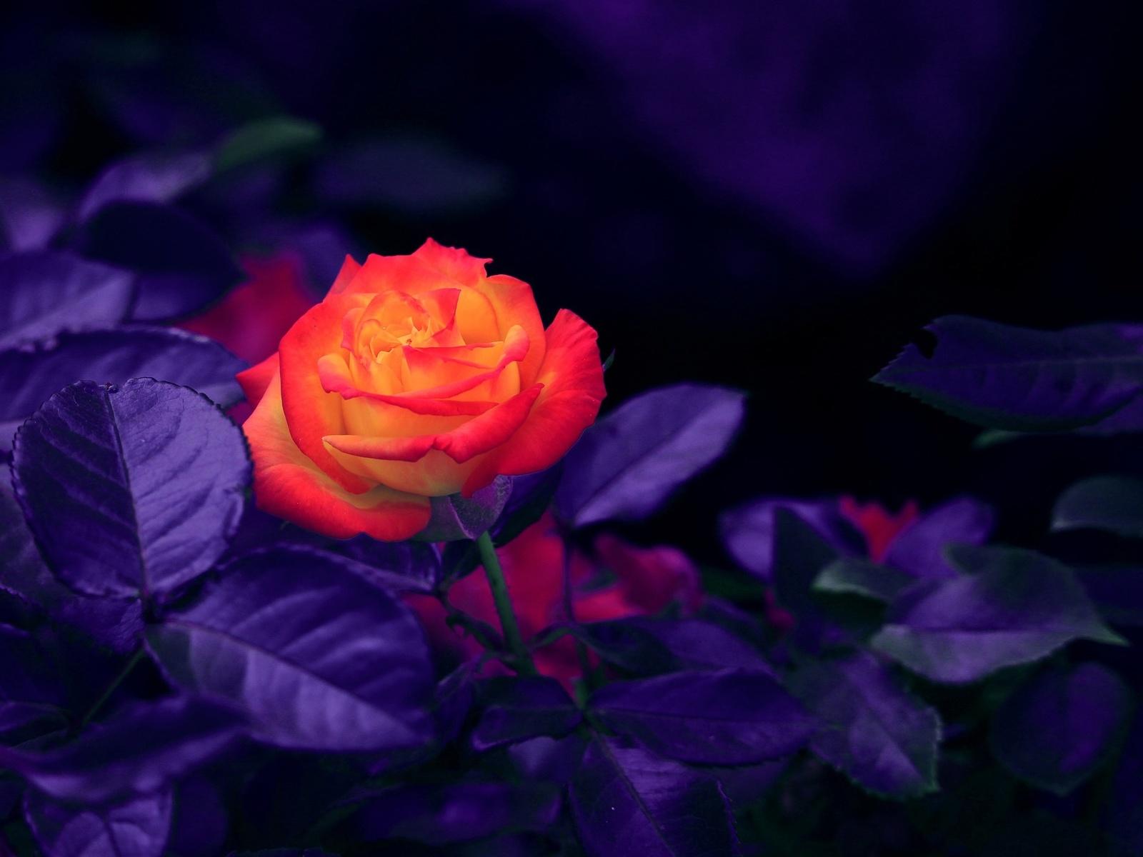 цветок, роза, куст, листья
