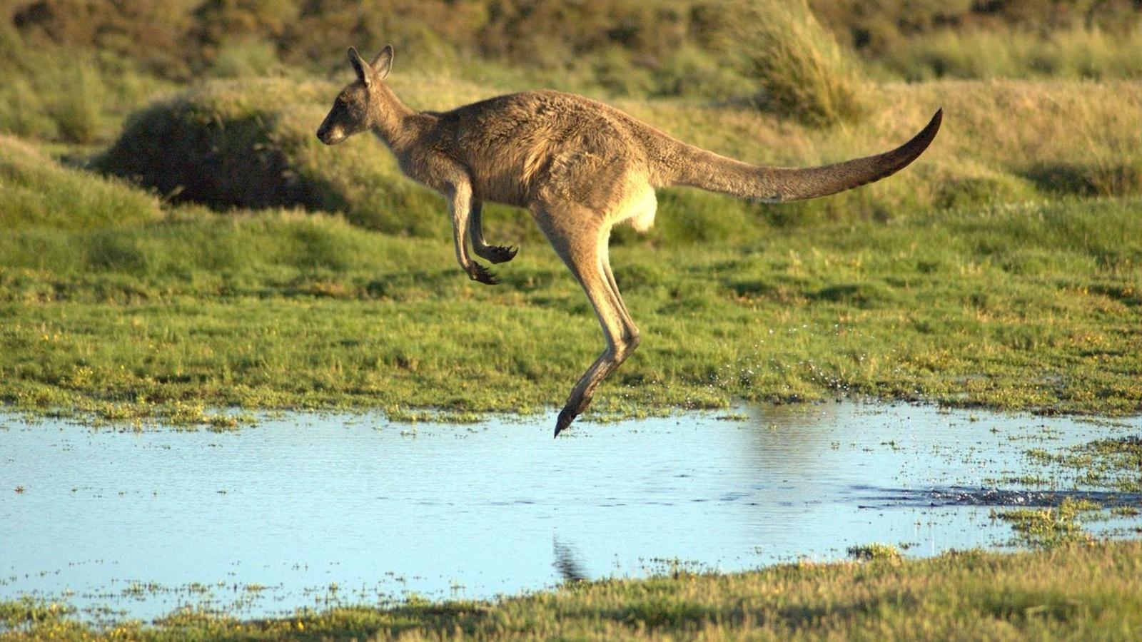 животные, кенгуру