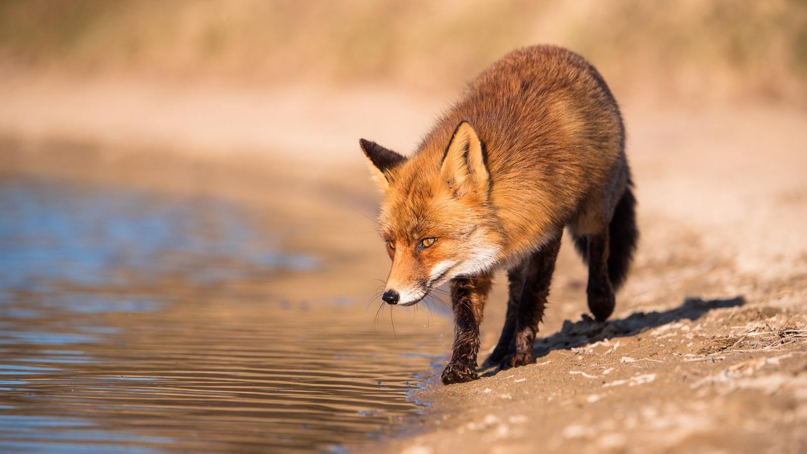 животное, хищник, лиса, лисица, взгляд, природа, вода