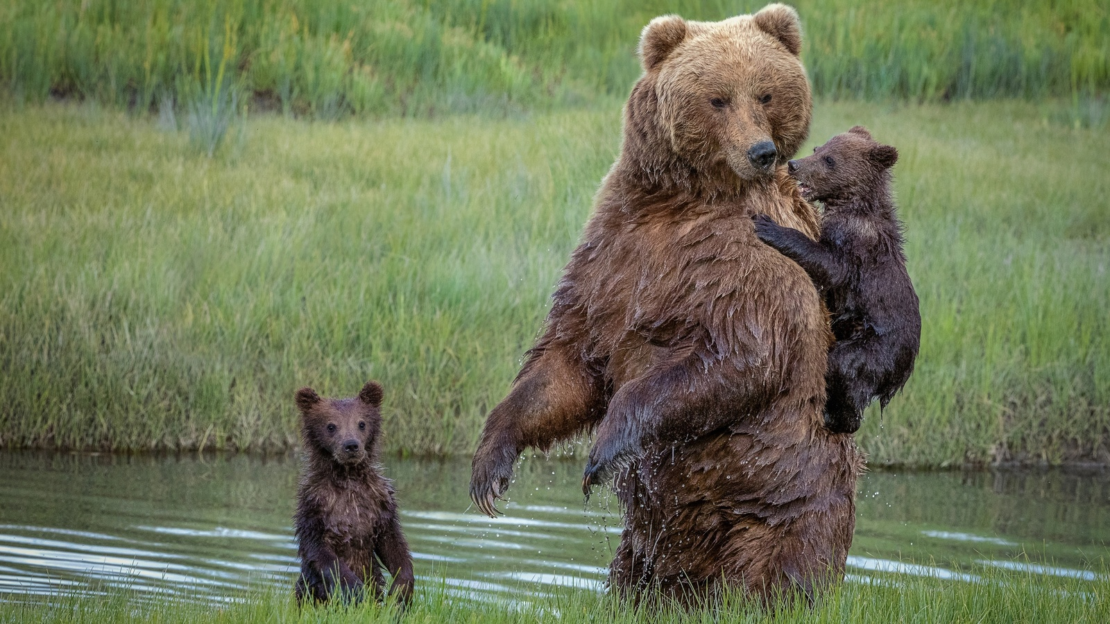 животные, хищники, медведи, медведица, медвежата, детёныши, три медведя, природа, река, трава