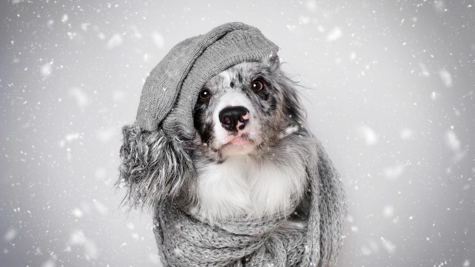 животное, собака, пёс, бордер-колли, шапка, шарф, взгляд, зима, снег
