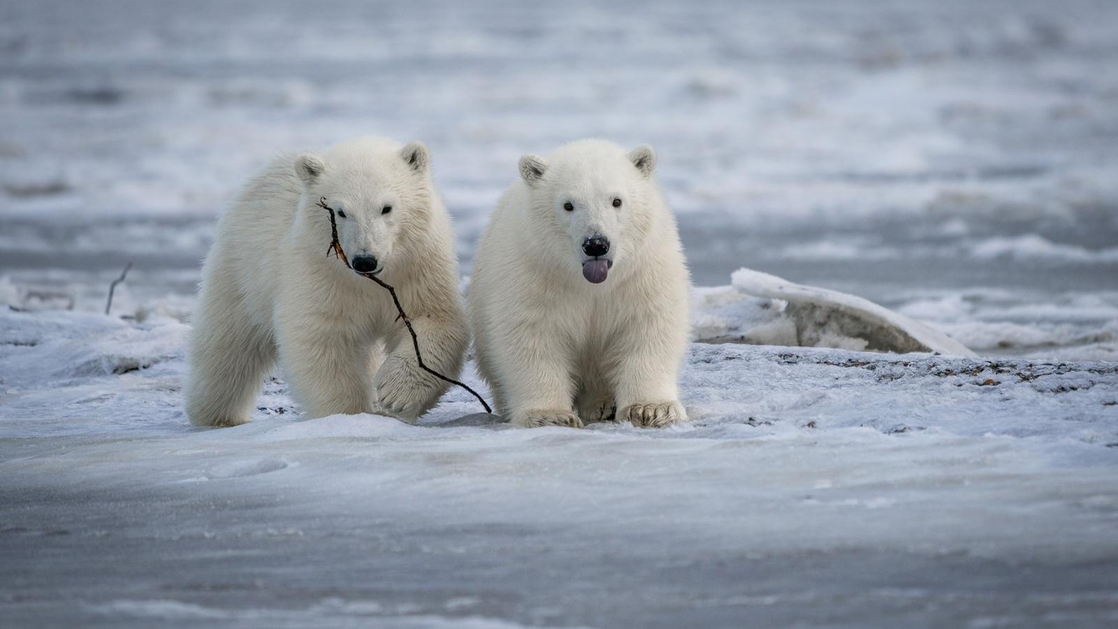 лёд, медвежата, парочка, белые медведи, полярные медведи