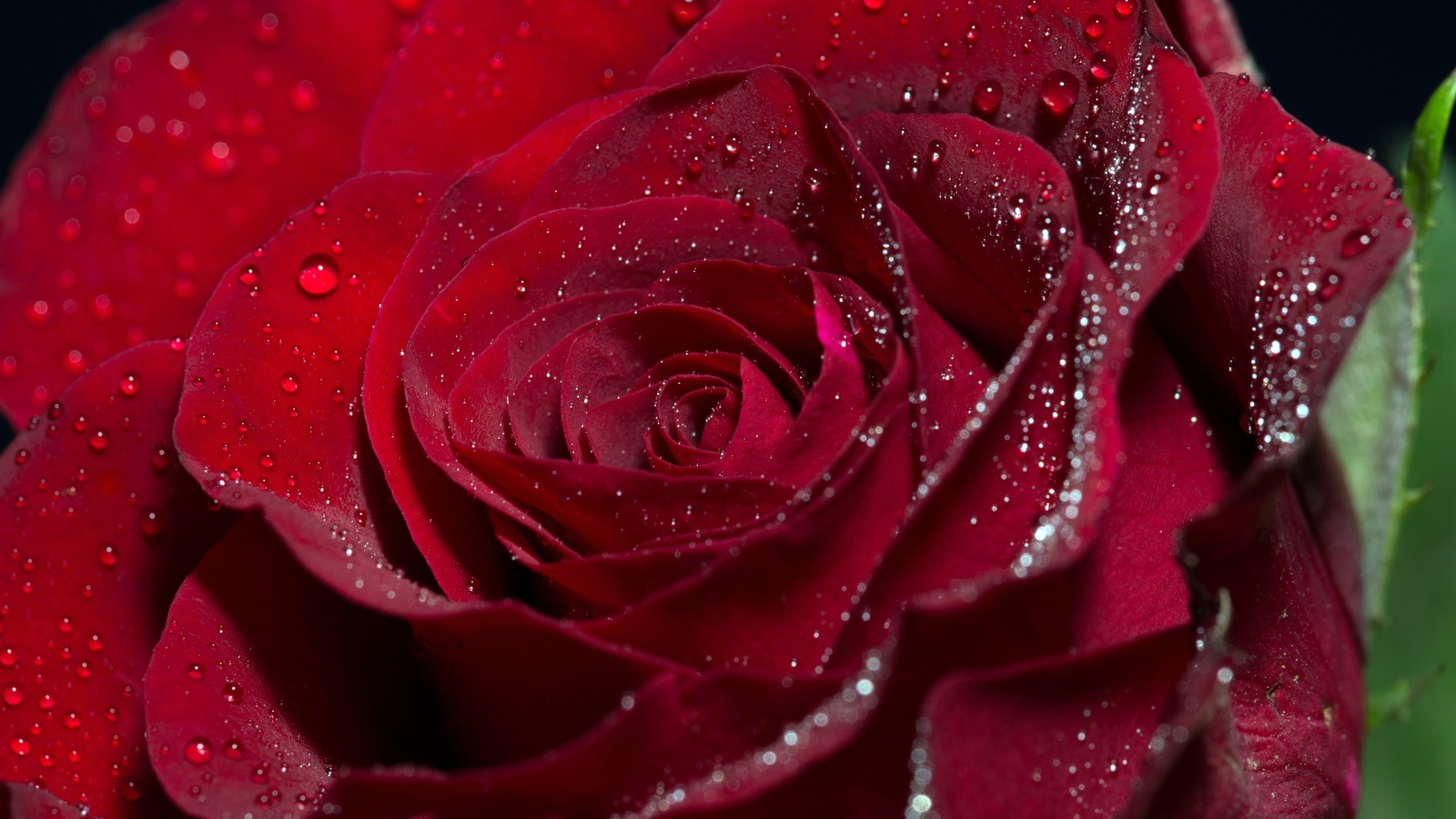 роза, цветок, лепестки, капли