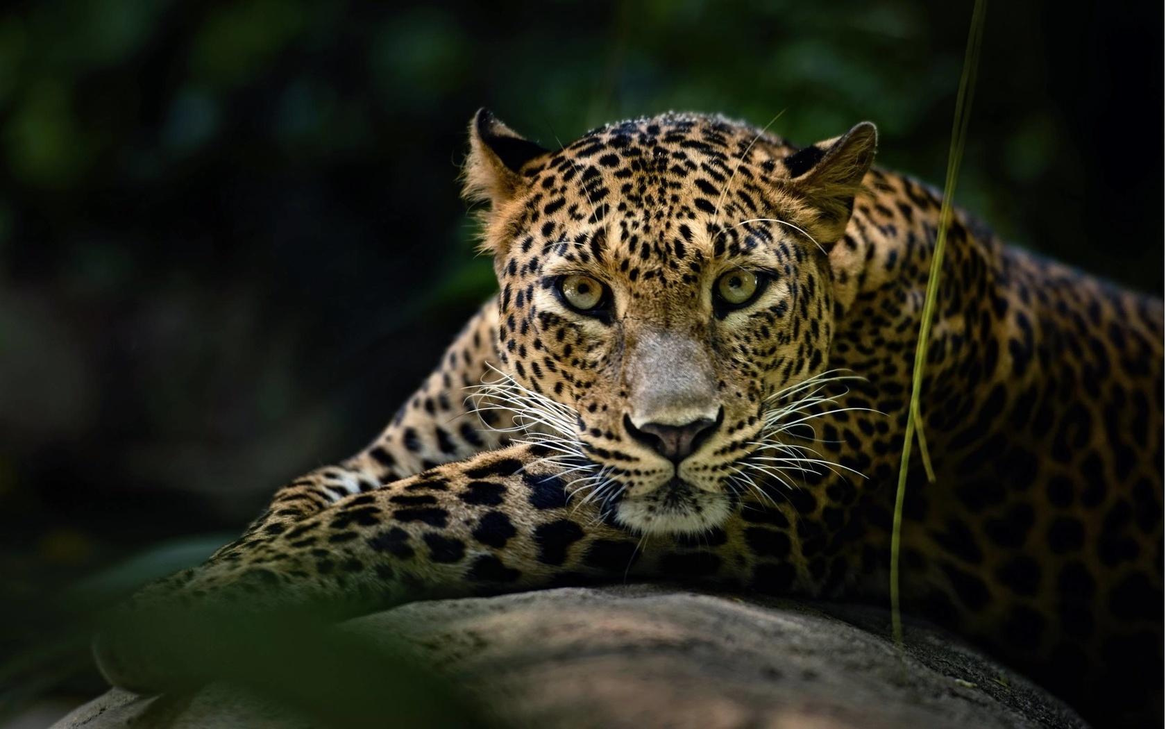 леопард, хищник, животные, дикая кошка