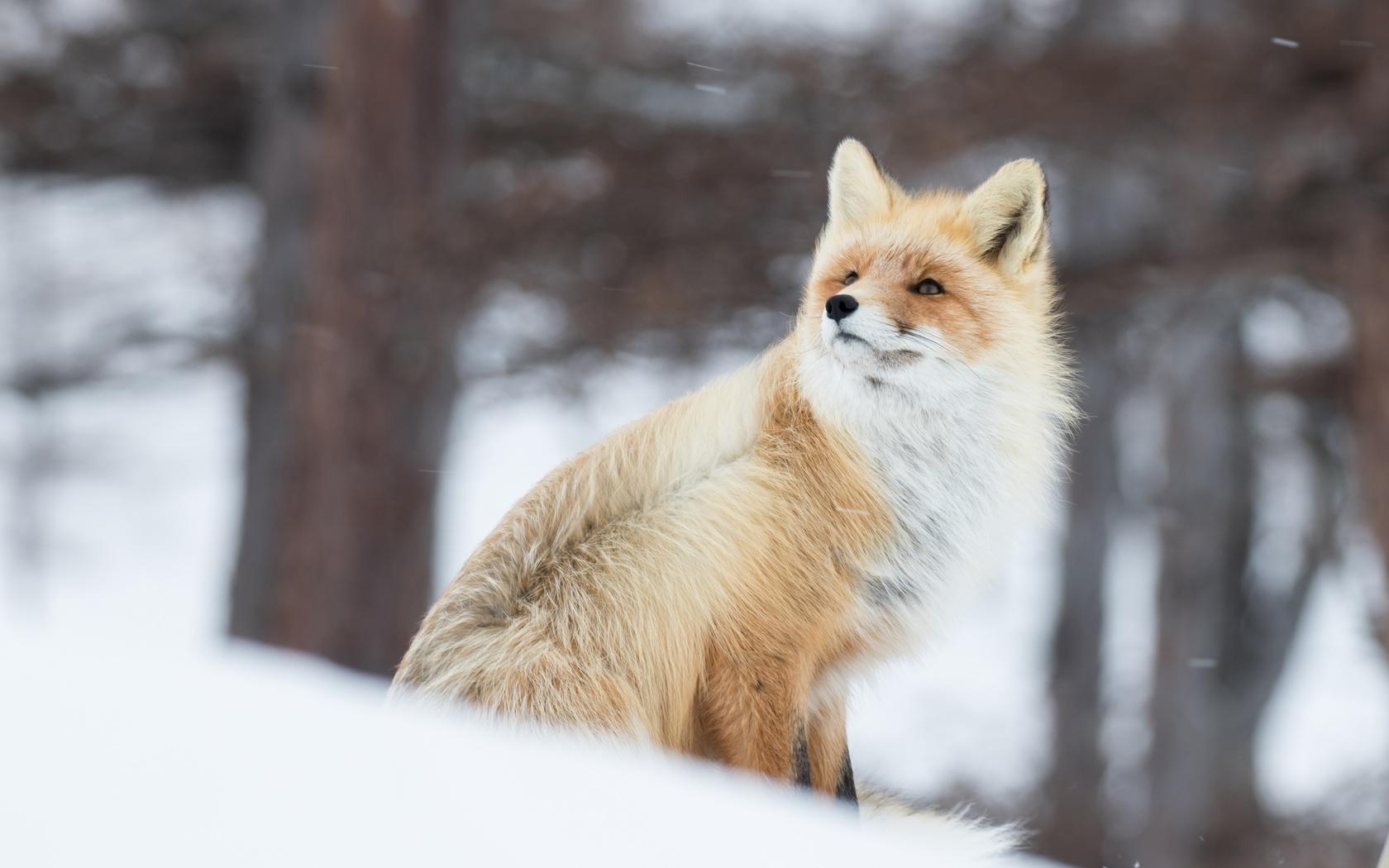 животные, лиса, зима, снег, ветер