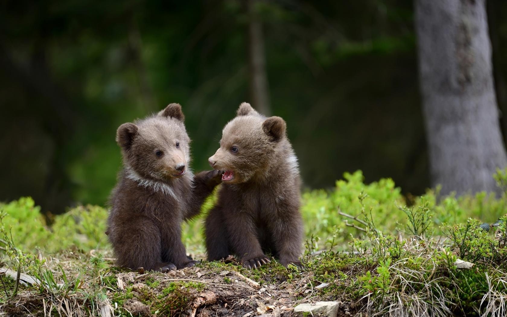 животные, хищники, медвежата, детёныши, пара, природа