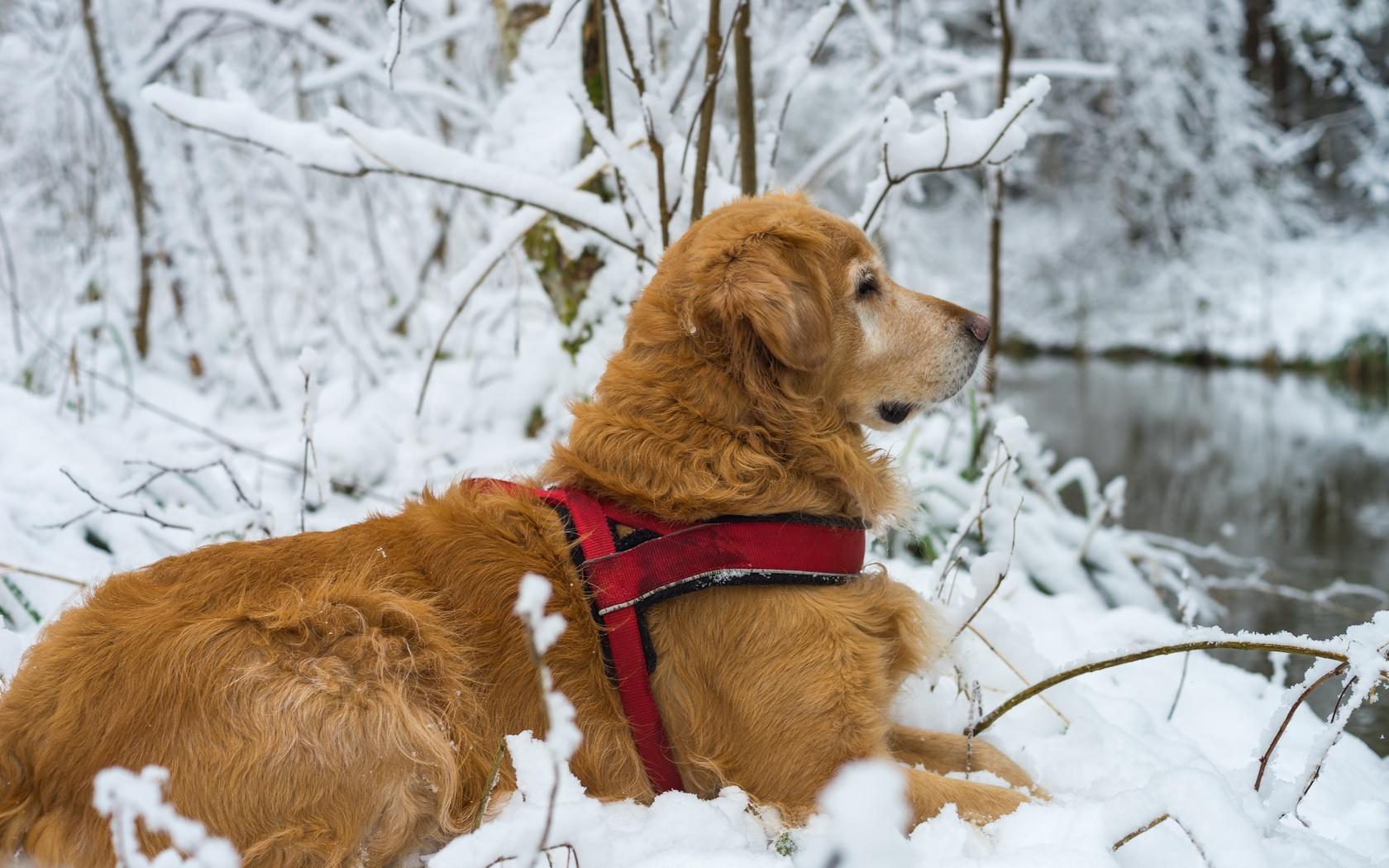 животное, собака, пёс, профиль, природа, зима, снег, ветки