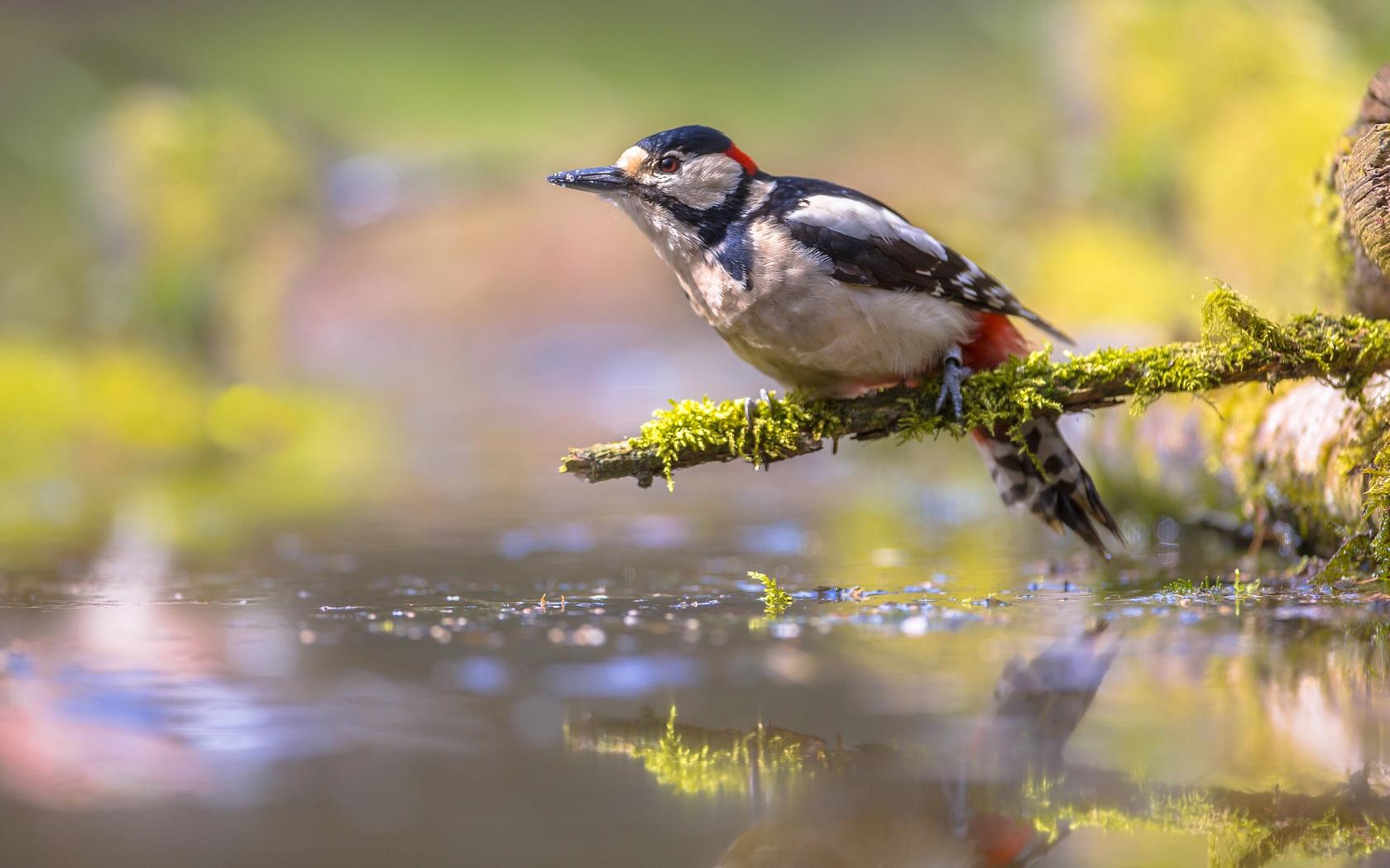 птицы мира, птица, дятел, ветка, мох, вода, водоём, боке