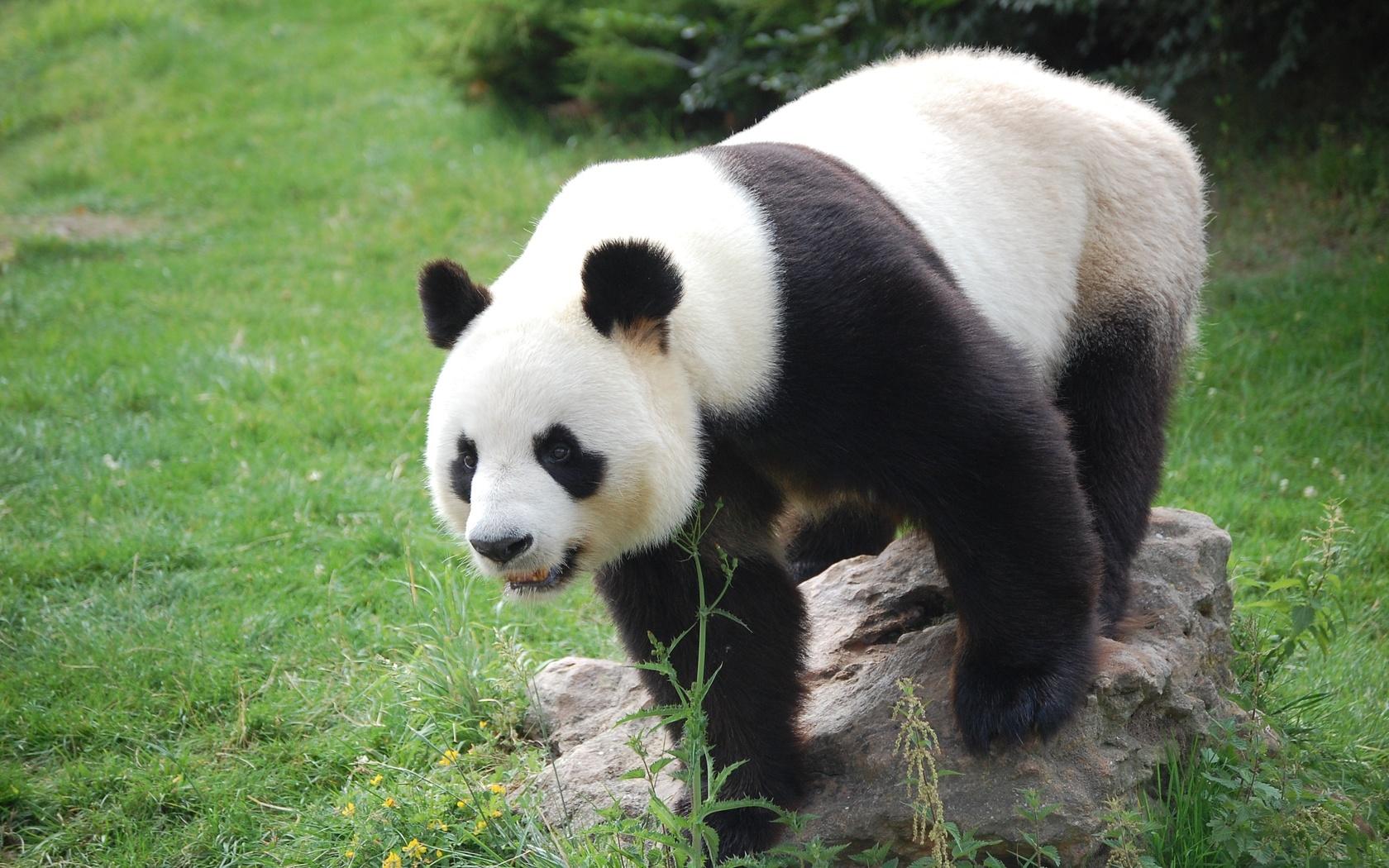 трава, панда, камень