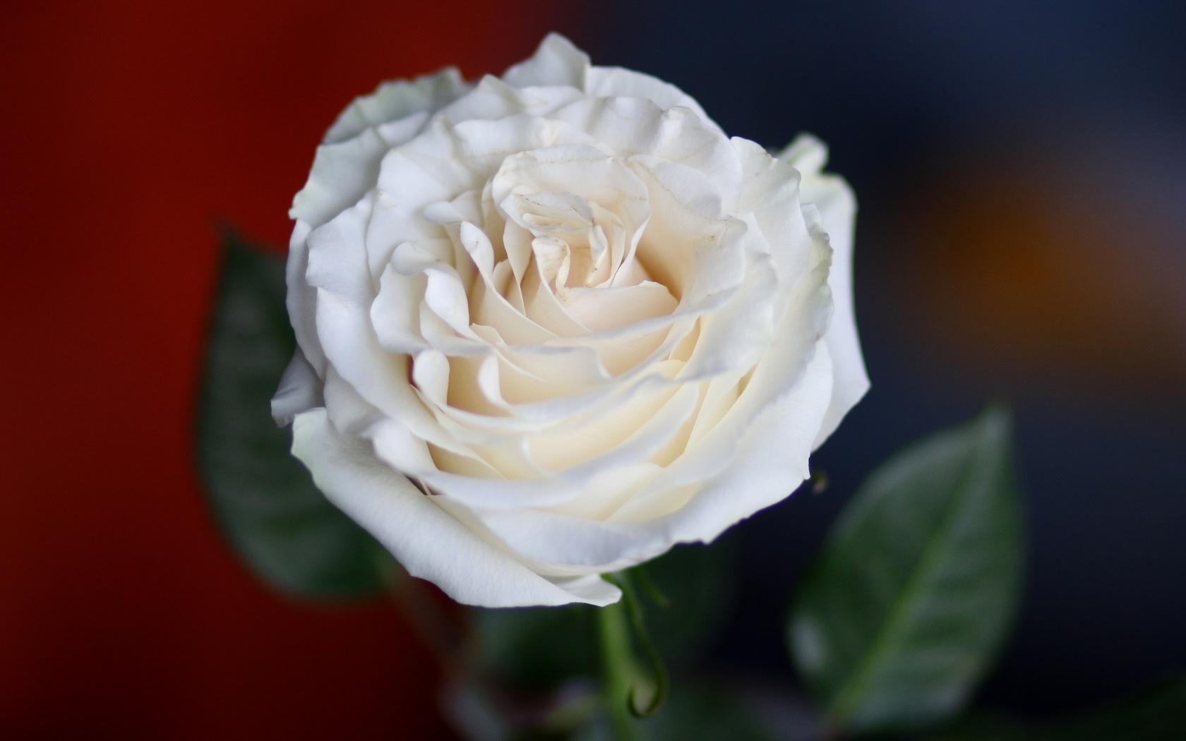 роза, лепестки, крупный план