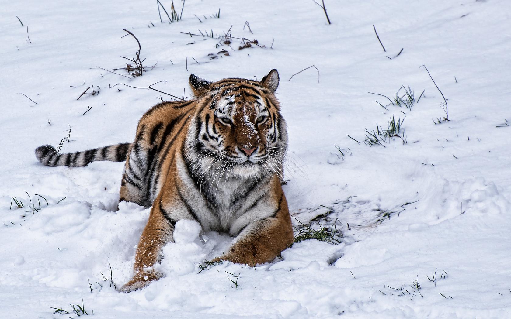зима, тигр, хищник, животное, большая кошка, взгляд