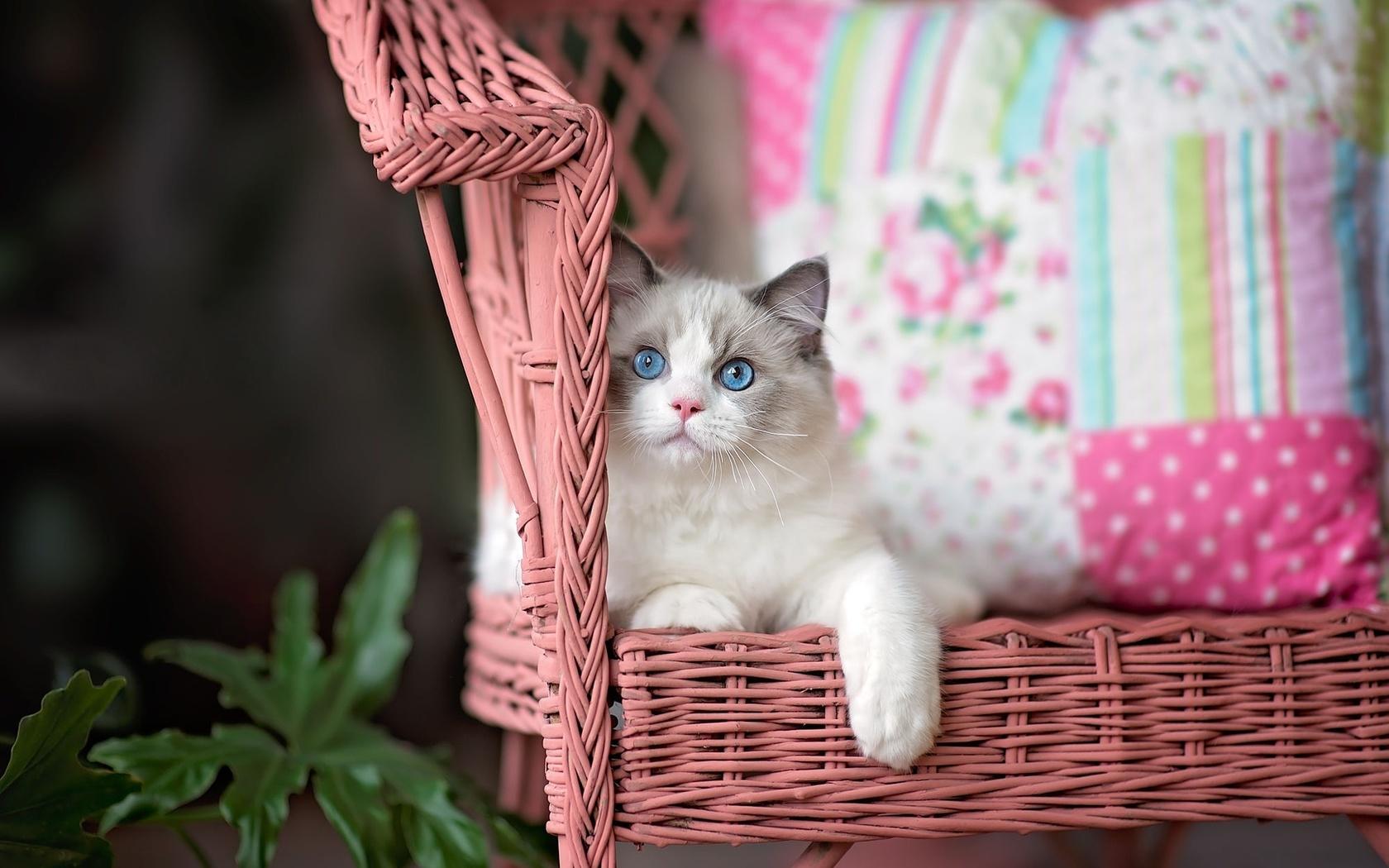 животное, кот, кошка, рэгдолл, кресло, подушки, листья