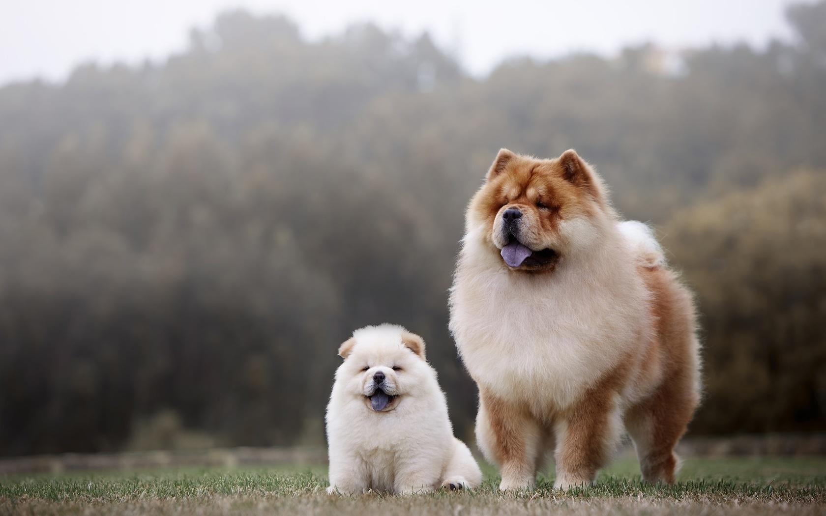 животные, собаки, пара, чау-чау, щенок, детёныш, природа, трава