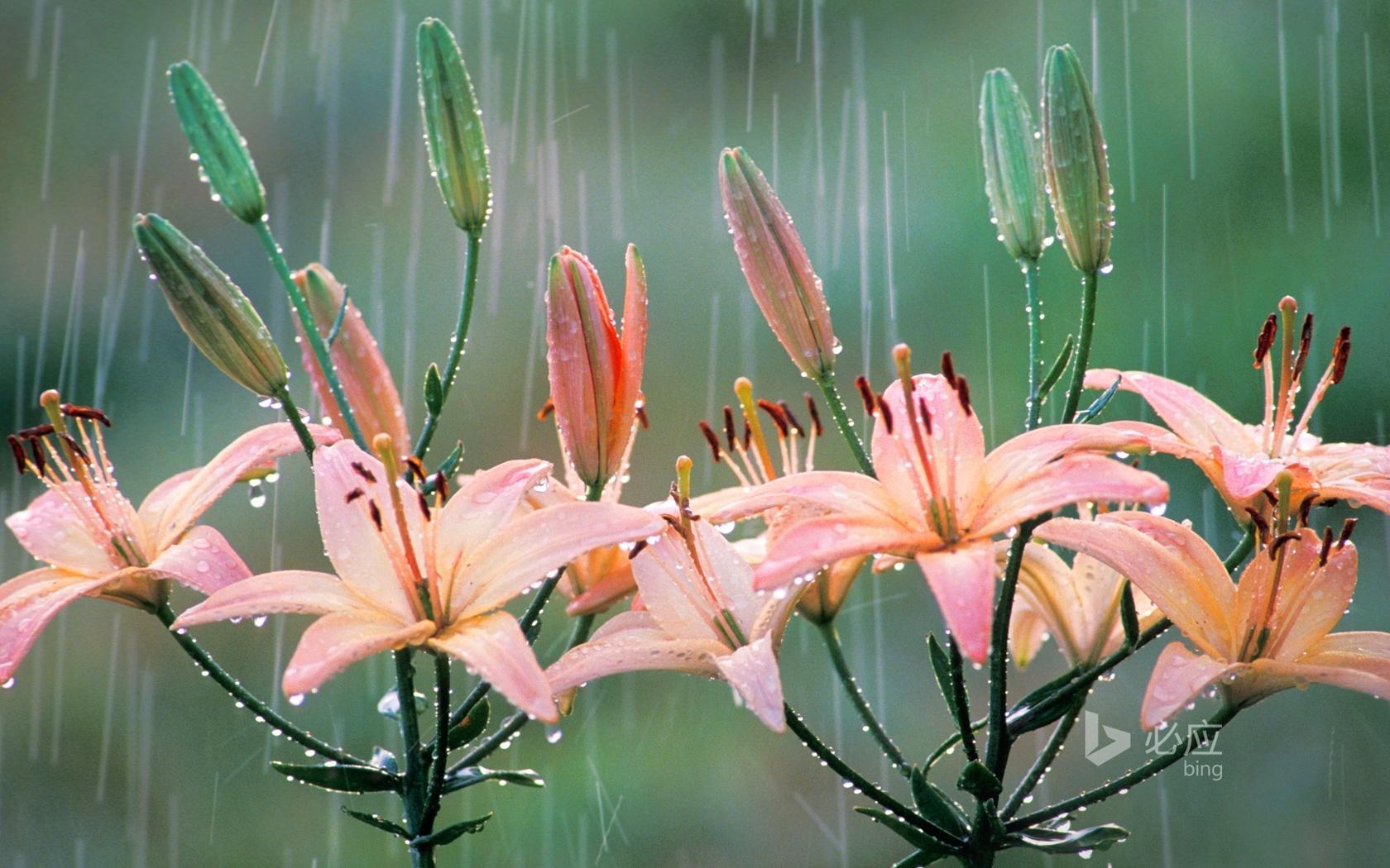 bing, цветы, лилии, бутоны, дождь, струи, мастики, тычинки, пестики