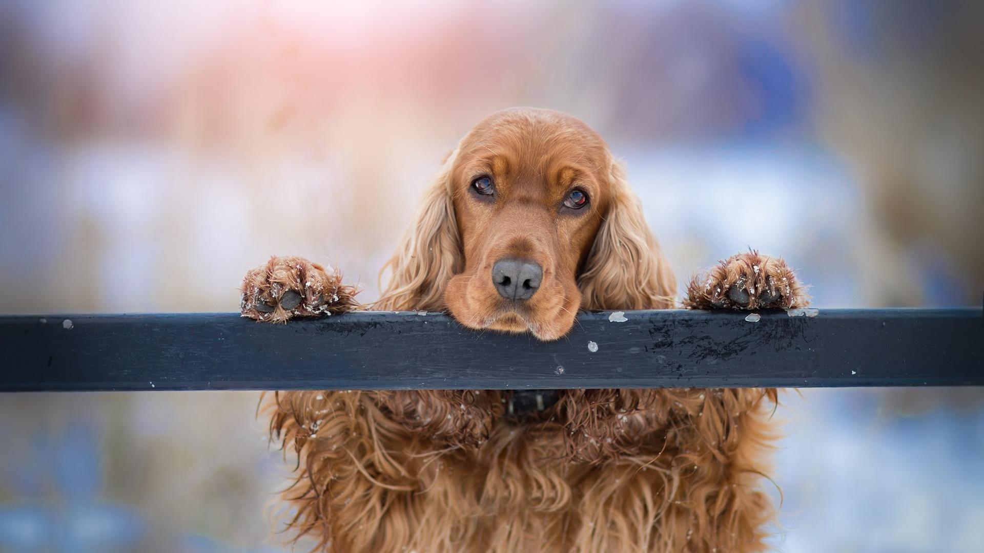 спаниель, собака, взгляд