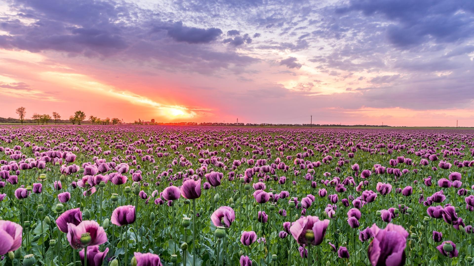 фиолетовый, маки, облака, закат, цветы
