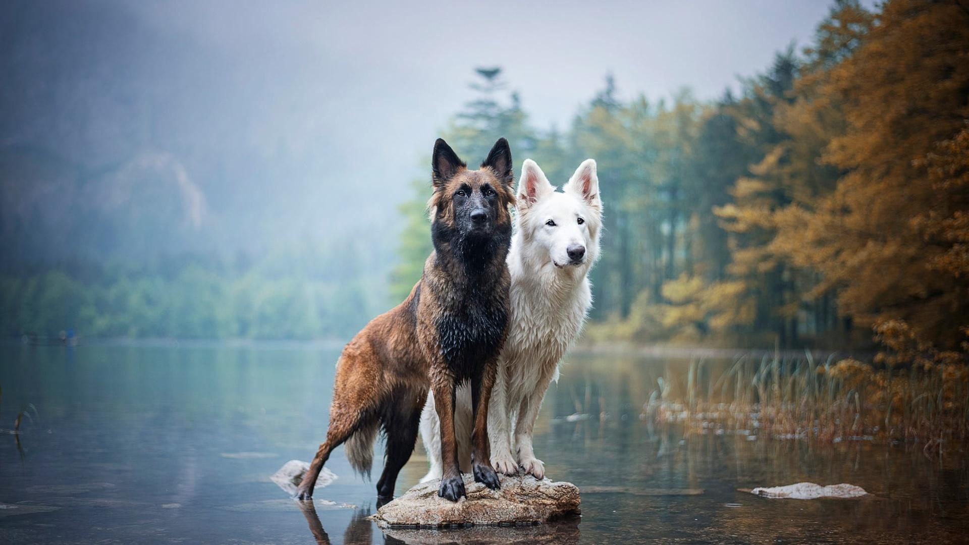 две, собаки, озеро