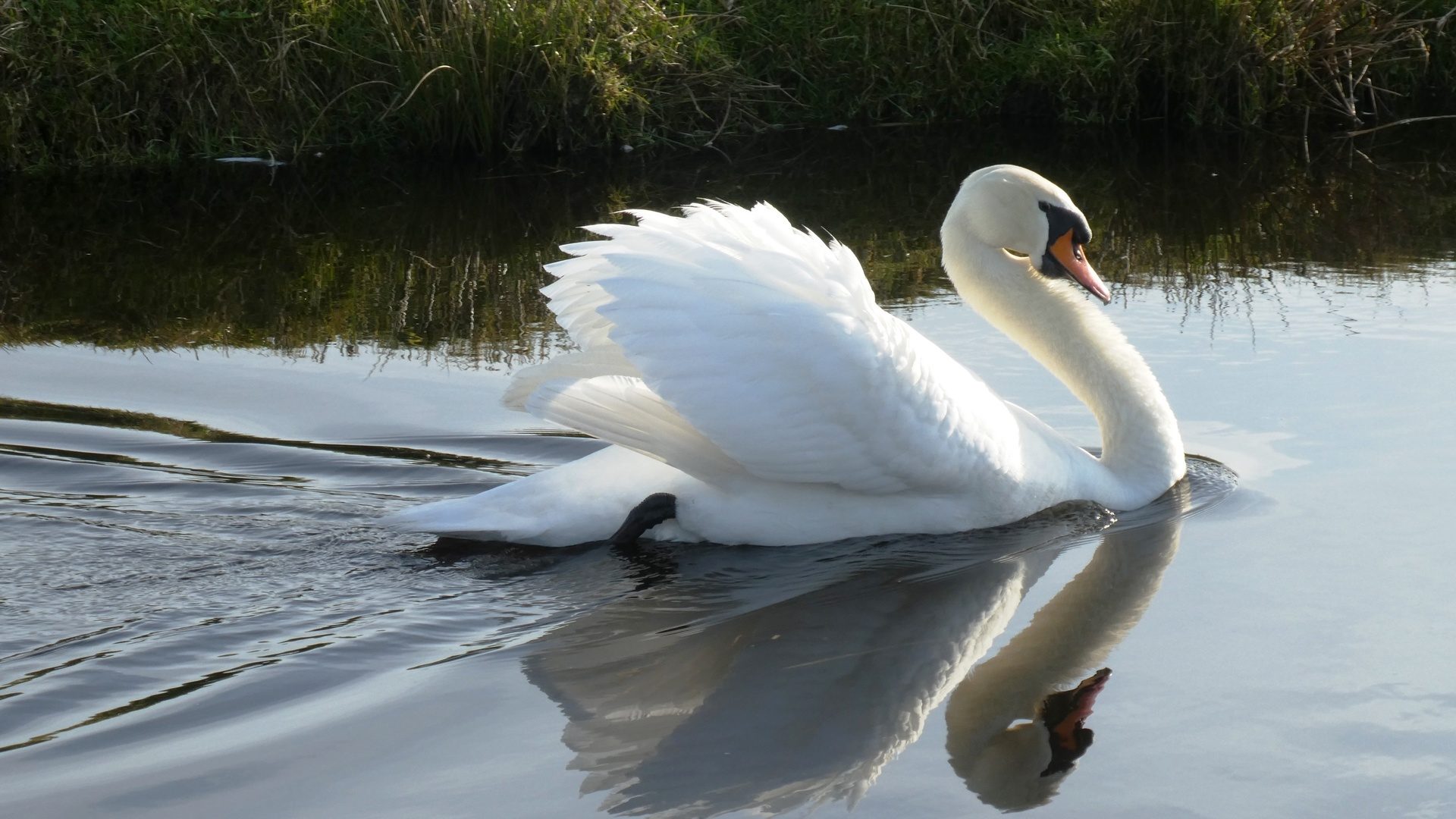 лебедь, вода, белый